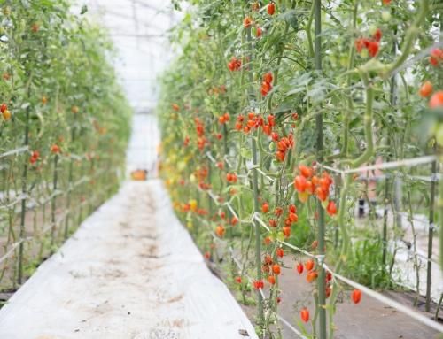 ホテルスタッフと行く!夏野菜の収穫体験プラン登場。